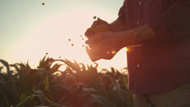 SUPER SLO MO Farmer shucking corn on the field at sunset