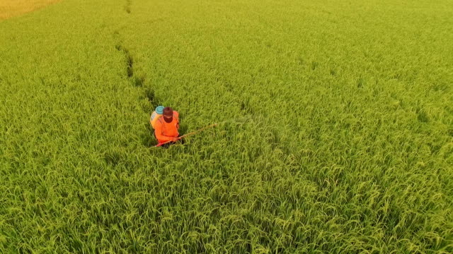 Farmer spray the fertilizer in green rice field video