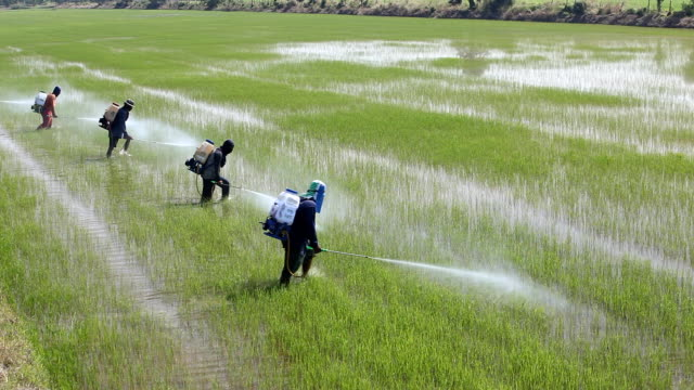 farmer spraying pesticide in paddy field. video