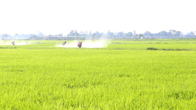 farmer spraying pesticide in the rice field video