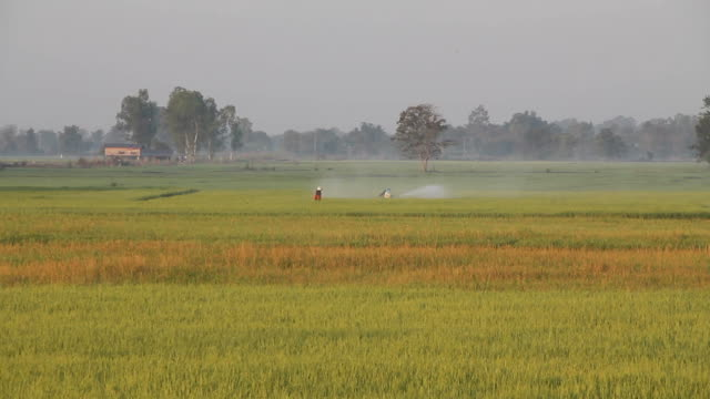 Farmer spraying pesticide on rice field. video