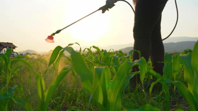 vidéos et rushes de fermier pulvérisant des pesticides et protègent du ver d'armée d'automne (spodoptera frugiperda) sur le champ jeune de maïs dans la soirée dans les terres agricoles de thaïlande. - maïs culture