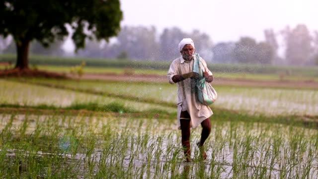 çiftçi yayılır gübre paddy pirinç alan bitkilerde - hindistan stok videoları ve detay görüntü çekimi