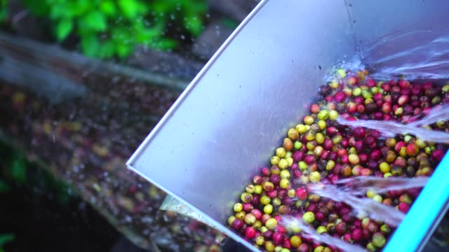 farmer starting the wet process with coffee beans recently ripe from the trees - coffee farmer video stock e b–roll