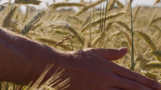 Landwirt schöne berühren Weizenfeld mit blauen Himmel und epische Sonnenlicht - Schuss auf rot – Video