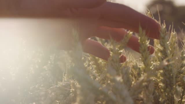 Landwirt schöne berühren Weizenfeld mit Lens-Flares und epische Sonnenuntergang - Schuss auf rot – Video