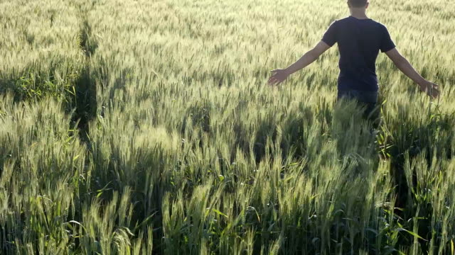 HD SLOW-MOTION: Farmer Touching In Wheat - Stock Video video