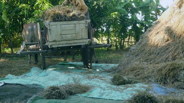 Descargas paquetes de granjero de paja de arroz de carro de madera sobre una lona de suelo - vídeo