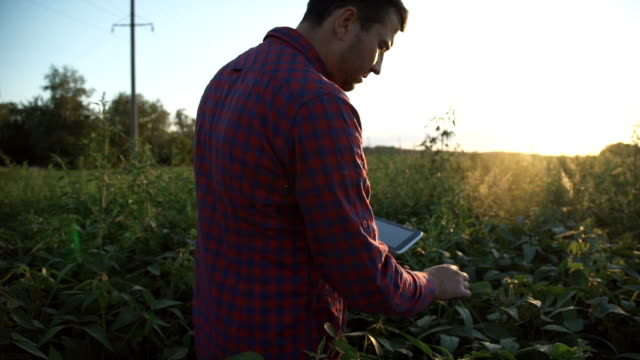 farmer uses a tablet computer on a soy field - качество стоковые видео и кадры b-roll