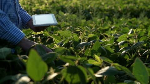 farmer utilizza un tablet computer su un campo di soia - agricoltura video stock e b–roll