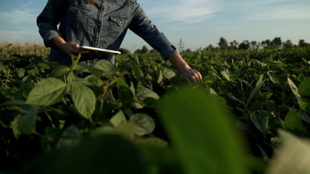 Farmer uses a tablet computer on a soy field Farmer uses a tablet computer on a soy field plantation stock videos & royalty-free footage