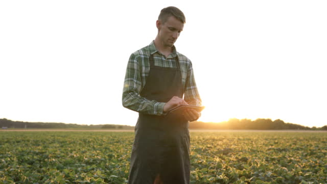 A farmer uses a tablet in a soybean field. Agribusiness leguminous plants thriving. video