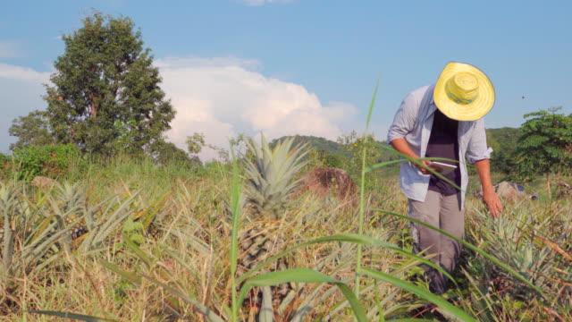4K: Farmer using a digital tablet Quality inspection in Pineapple field