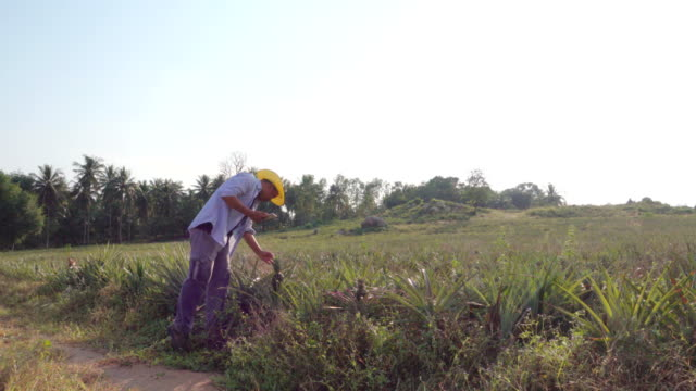 Farmer using a digital tablet Quality inspection in Pineapple field