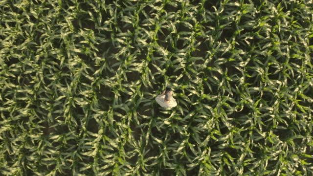 vídeos y material grabado en eventos de stock de aerial farmer utiliza una tableta para analizar el crecimiento en el campo - drone footage