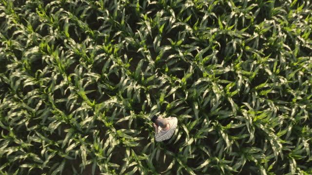 vidéos et rushes de fermier d'aerial utilisant un comprimé tout en examinant le maïs dans le domaine - maïs culture