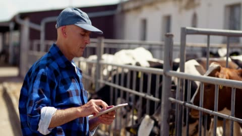 agricoltore che usa tablet digitale al fienile della fattoria, stalla, bestiame, mucca. - agricoltura video stock e b–roll