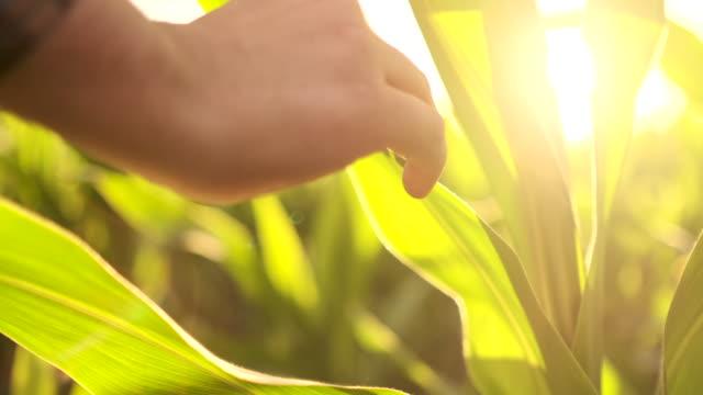 vidéos et rushes de fermier utilisant l'ordinateur numérique de tablette dans le domaine de maïs, application moderne de technologie dans l'activité de croissance agricole - équipement agricole