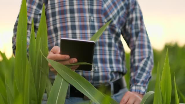 vidéos et rushes de fermier utilisant l'ordinateur numérique de tablette dans le domaine de maïs, application moderne de technologie dans l'activité de croissance agricole - maïs culture