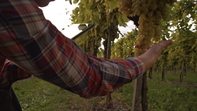 Farmer using digital tablet in the vineyard video