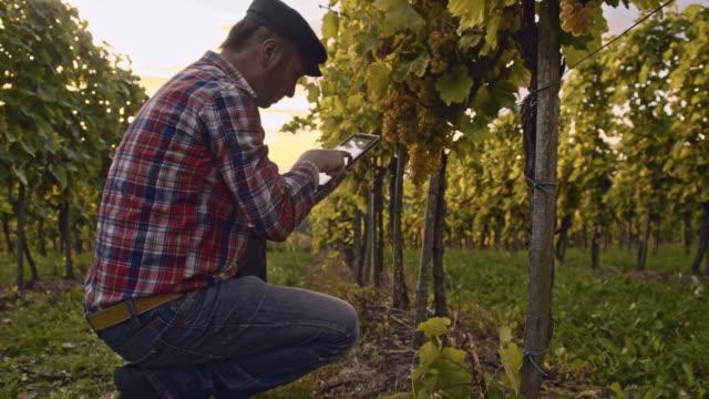 Farmer using digital tablet while checking the vineyard video