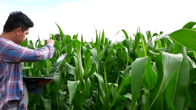 Farmer using laptop computer in corn field. Asian farmer using technology in agriculture business video