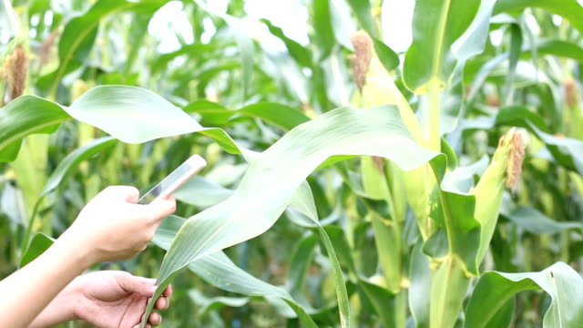 Farmer using technology for check plant at corn field Farmer using smartphone for check plant at corn field monoculture stock videos & royalty-free footage