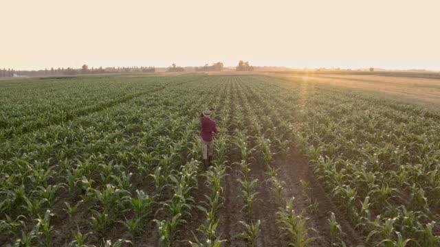 vídeos y material grabado en eventos de stock de aerial agricultor caminando entre plantas de maíz - drone footage