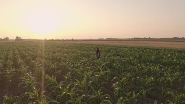 vídeos de stock, filmes e b-roll de fazendeiro aéreo que anda entre plantas do milho - plantação
