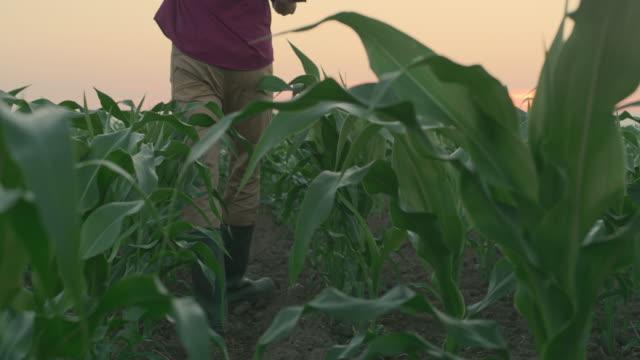 la farmer vandra bland unga majs växter i ett fält vid solnedgången - bonde jordbruksyrke bildbanksvideor och videomaterial från bakom kulisserna