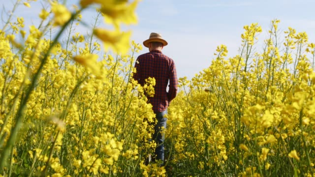 farmer walking in sunny,rural yellow canola field,real time - colza video stock e b–roll