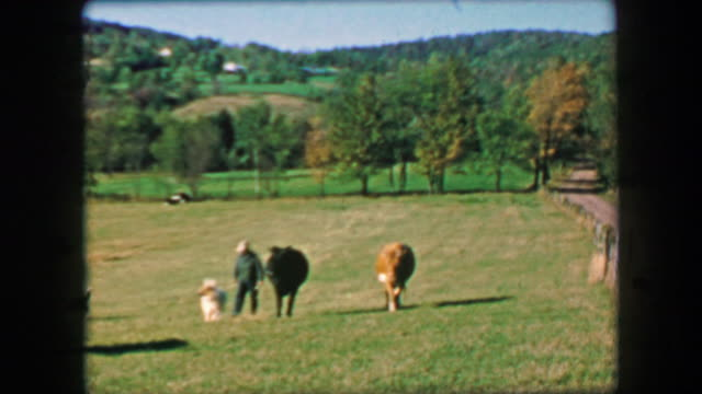 1957: Farmer walking in tandem with cows in idyllic open grassy fields. . 20th century stock videos & royalty-free footage