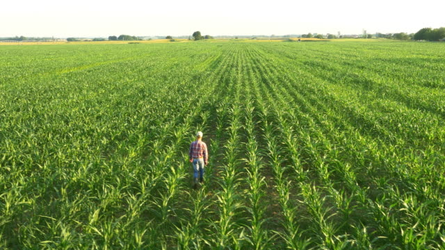 AERIAL Farmer walking in the field of corn video