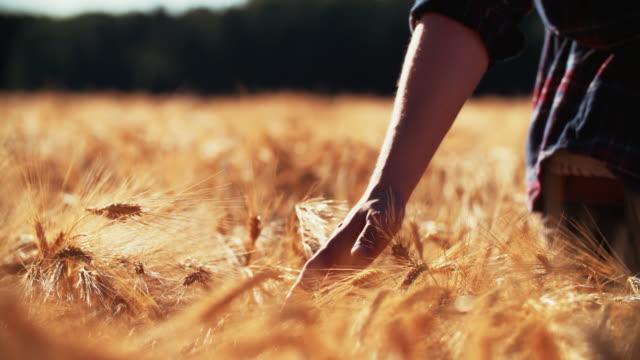 Farmer walking in wheat field touching the heads of corn