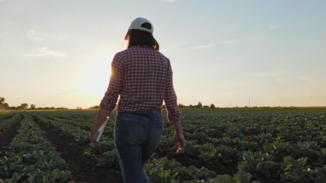 contadino che cammina attraverso un campo di cavoli al tramonto - agricoltore video stock e b–roll