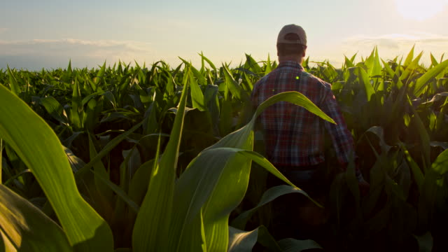 WS CS Farmer Walking Through Field Of Corn video