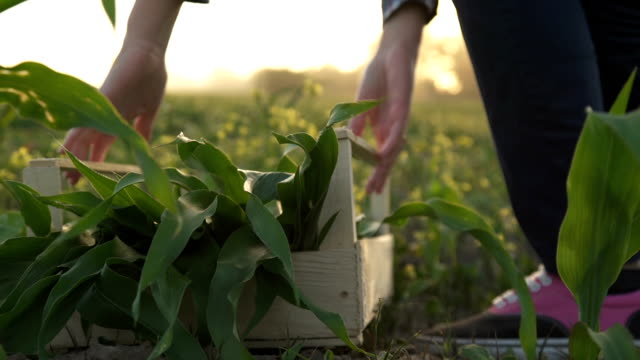 farmer walks the field carrying a box with green plants. . Slow motion farmer walks the field carrying a box with green plants. . Slow motion homegrown produce stock videos & royalty-free footage