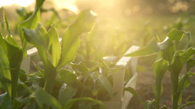 farmer walks the field carrying a box with green plants. . Slow motion video