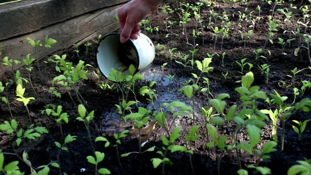 vídeos de stock, filmes e b-roll de fazendeiro regando as mudas no jardim. mãos de um fazendeiro regando mudas de tomate no jardim. conceito de um planeta verde, ecologia. - braço humano