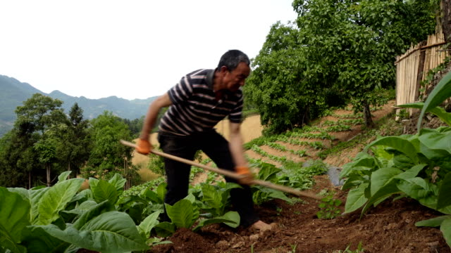 Video farmer weeding in tobacco field.