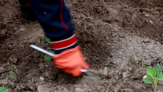 vídeos de stock e filmes b-roll de farmer weeding the cabbage plants with hoe - crucíferas