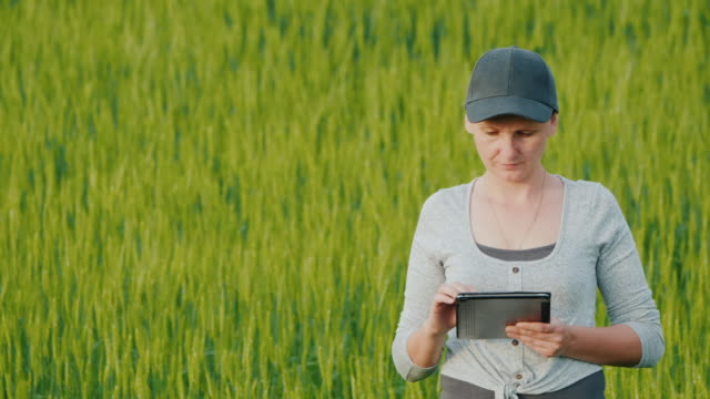 Farmer with a tablet in his hands working on a wheat field Farmer with a tablet in his hands working on a wheat field. agricultural occupation stock videos & royalty-free footage