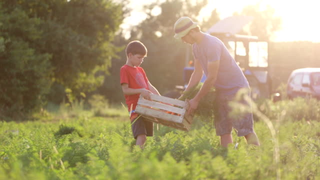 Farmer with children harvesting organic carrot crop on the field of eco farm. Yong farmer in hat with children harvesting organic carrot crop on the field of eco farm. Father picking vegetables while son holding wodden box. Shot against the sun with tractor on the background. tuber stock videos & royalty-free footage