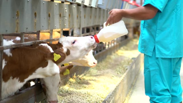 Farmer with fresh milk in barn feeds calves