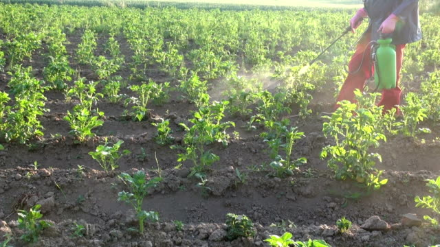 farmer with protective equipment spraying  summer potato field video