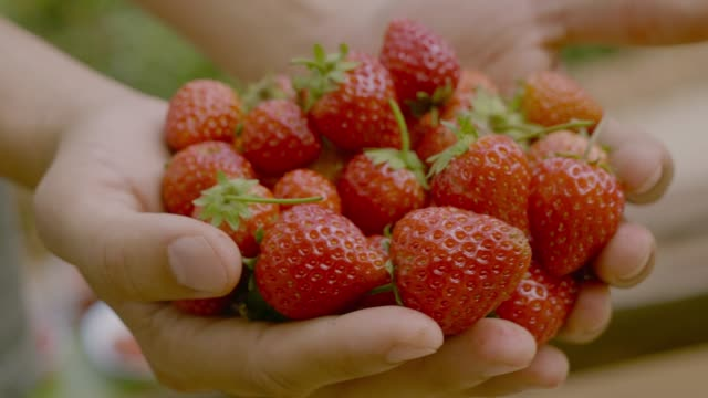 Farmer with Strawberry Farmer picking Strawberry in farm. 4K Resolution. cultivated land stock videos & royalty-free footage