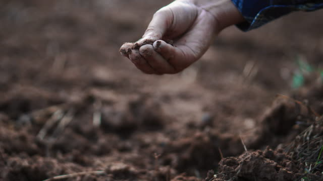 rolnik kobieta sprawdzanie ekologicznej gleby rolnictwo pole ryżowe pole pszenicy pole podczas pory suchej latem - dokładność filmów i materiałów b-roll