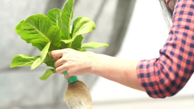 Farmer woman checking quality of fresh hydroponic plants , plants growing in greenhouse supported Farmer woman checking quality of fresh hydroponic plants , plants growing in greenhouse supported hydroponics stock videos & royalty-free footage