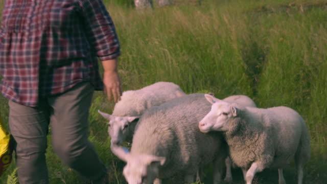 Farmer Woman Feeds Sheep video
