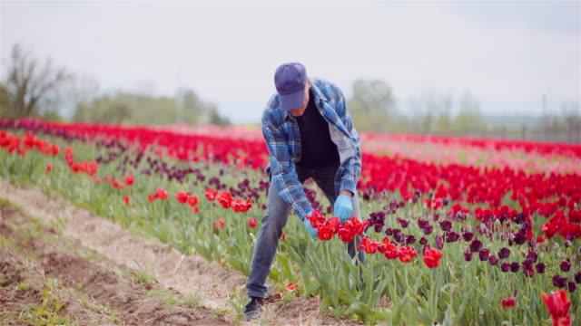 farmer working på tulips flower plantation i nederländerna - bonde jordbruksyrke bildbanksvideor och videomaterial från bakom kulisserna